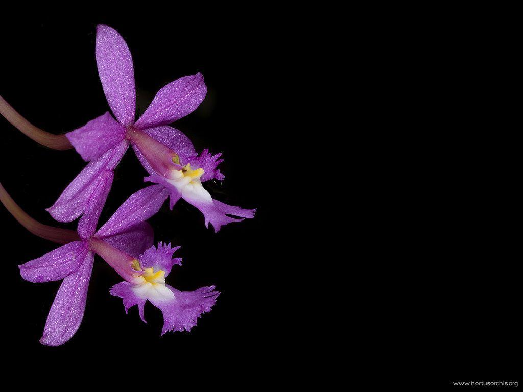 Epidendrum ibaguense rosa