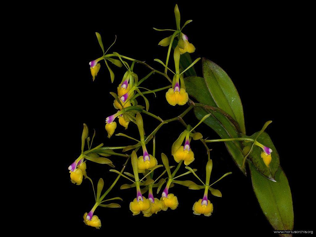 Epidendrum pugioniforme