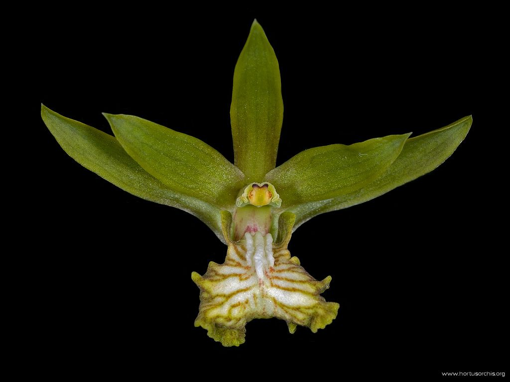 Eulophia andanamensis