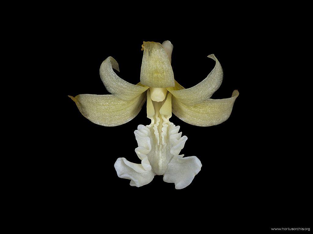 Flickingeria fimbriata alba