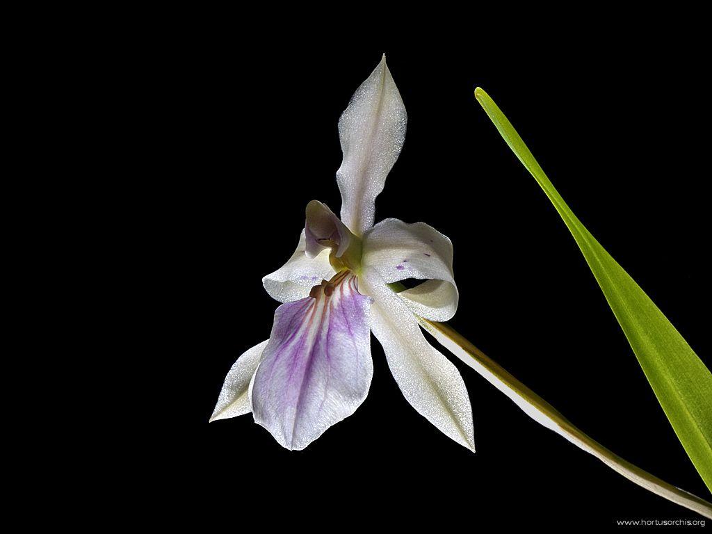 Miltonia spectabilis 2