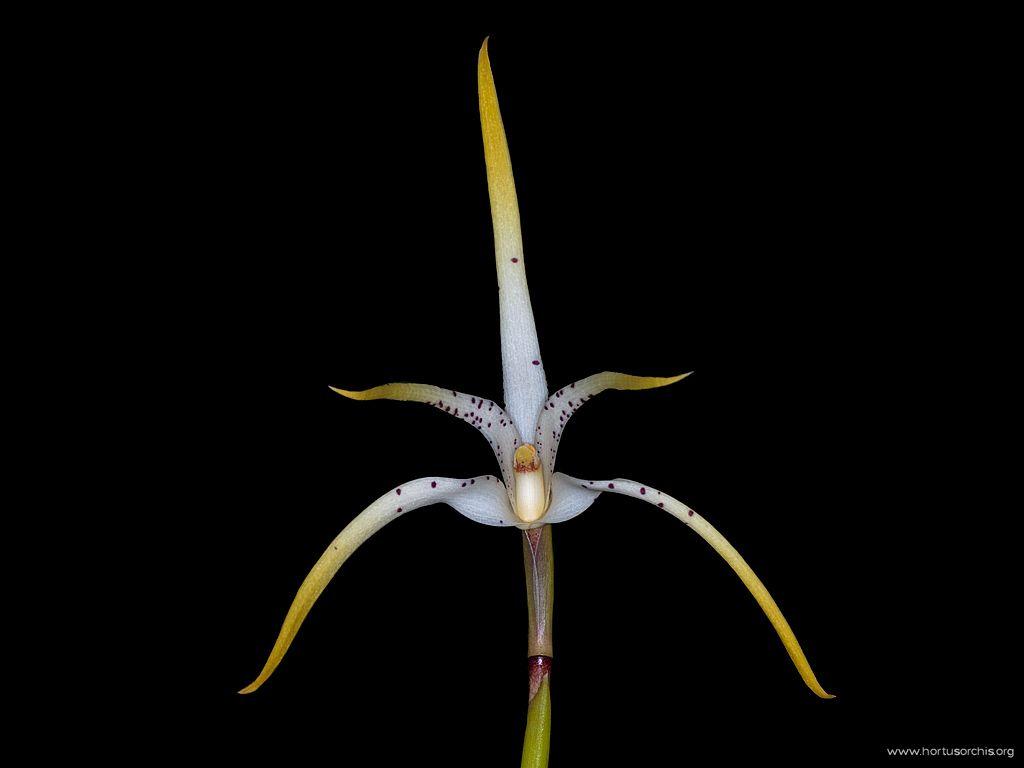 Maxillaria speciosa