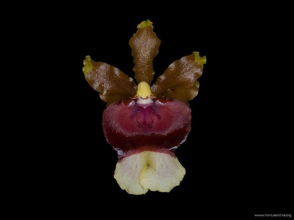 Miltoniopsis warscewiczii