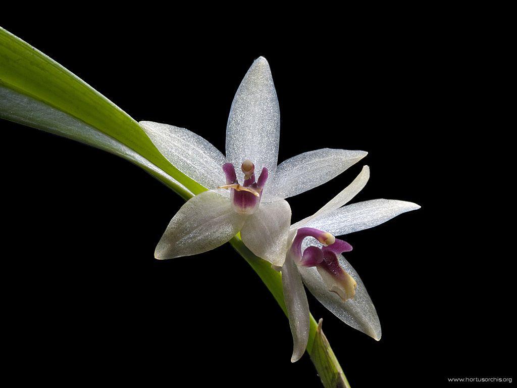 Octomeria grandiflora