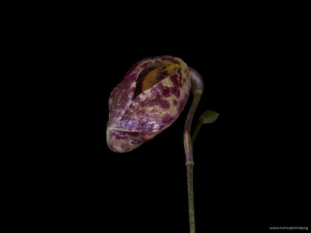 Ophidion pleurothallopsis