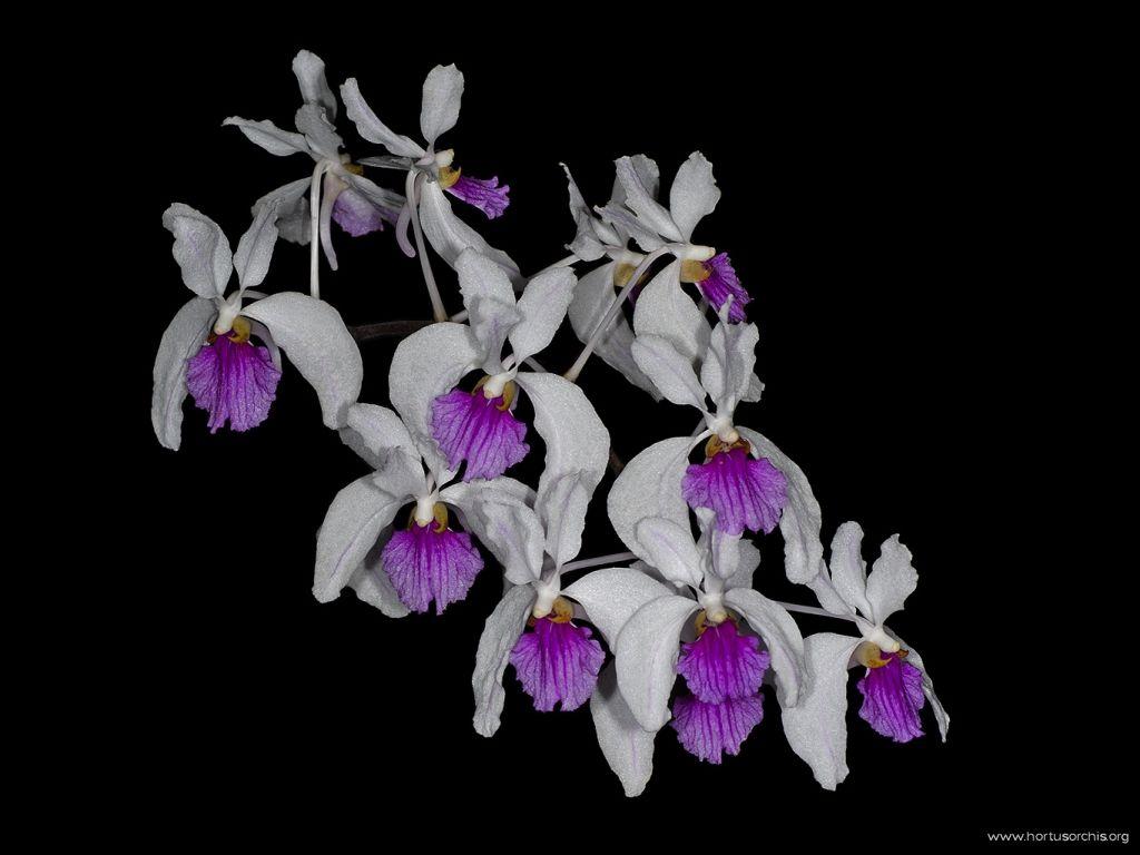 Holcoglossum kimballianum 2