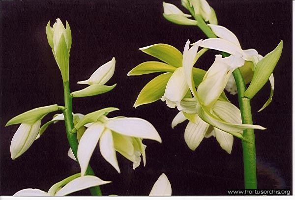 b_0_0_0_10_images_stories_foto-specie-botaniche_P-Z_Phaius_tankervilleae_alba.jpg
