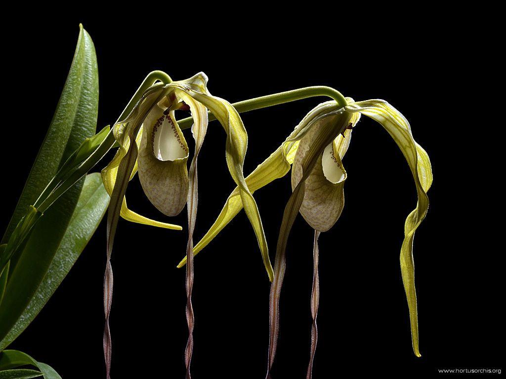 Phragmipedium wallisii