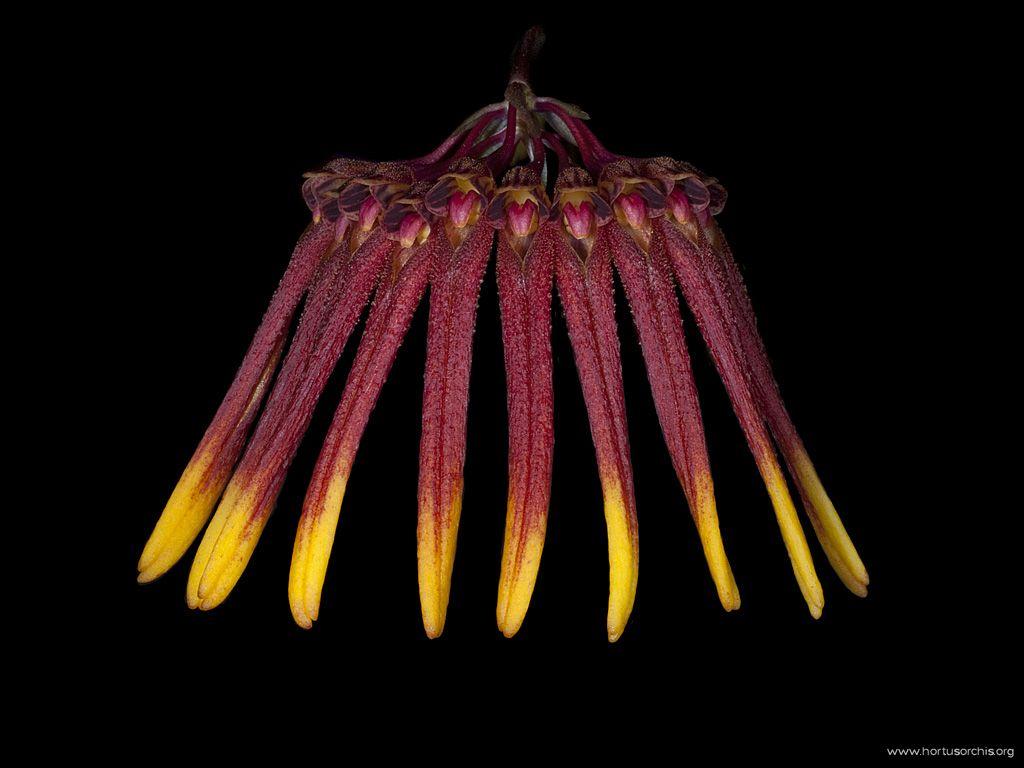 Rhytionanthos aemulum