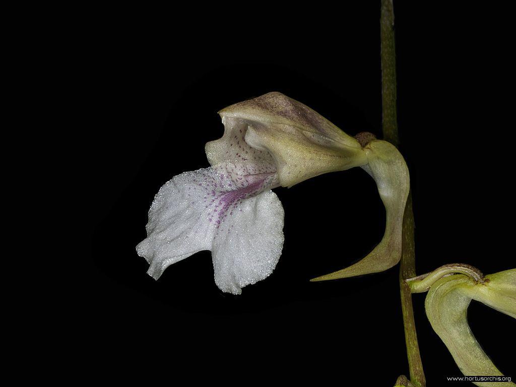 Rodriguezia satipoana