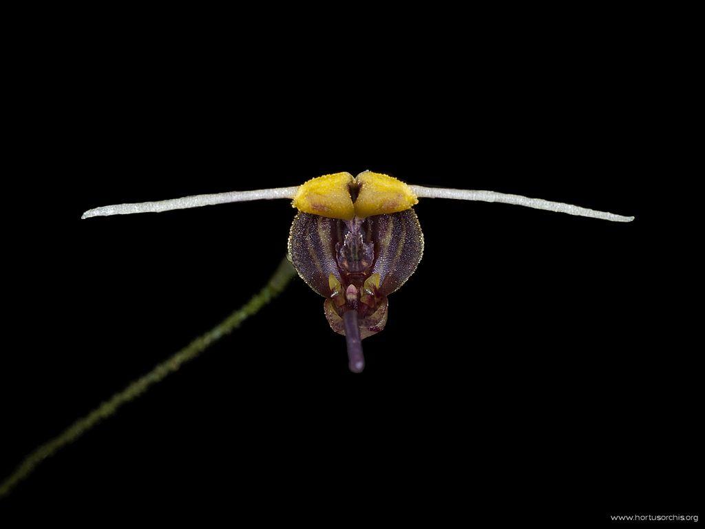 Scaphosepalum merinoi