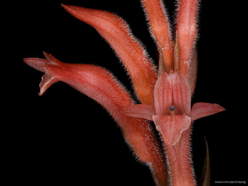 Stenorrhynchos lanceolatum