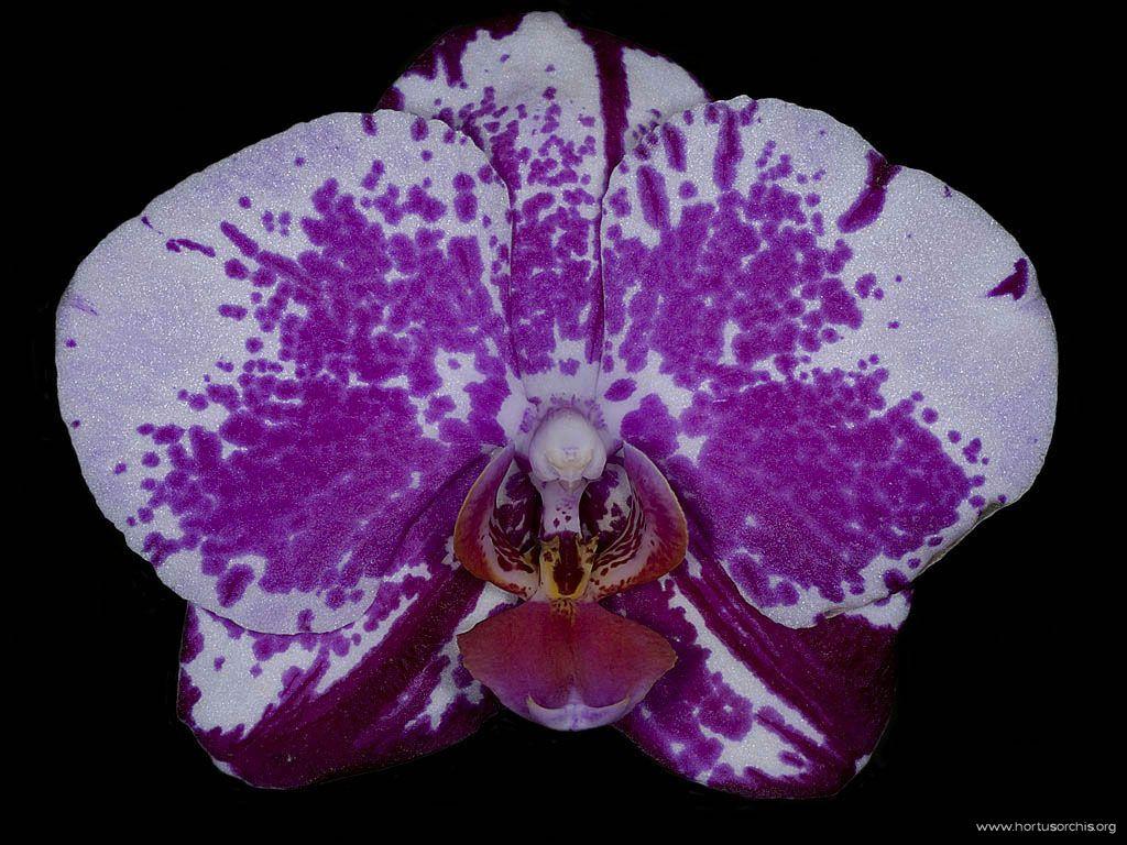 Doriatenopsis Auckland Song