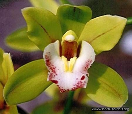 Cymbidium Peter Pan.jpg - 21.33 Kb