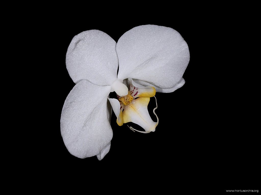 Phalaenopsis Antartic
