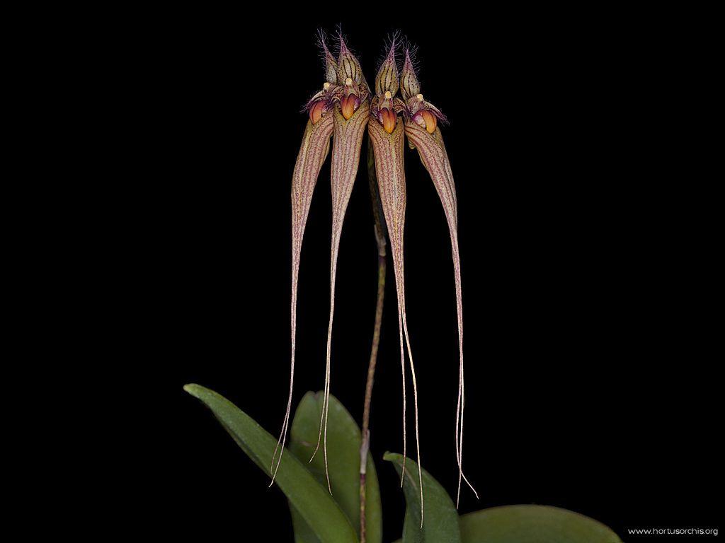 Mastyphyllum Louis Sander