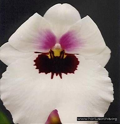 Miltoniopsis Lorene