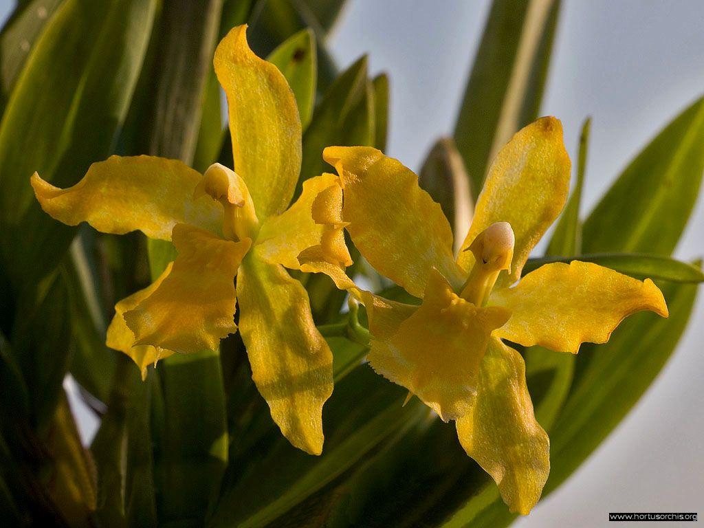 Odontoglossum Geyster gold