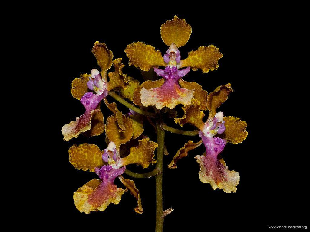 Oncidium Josephine