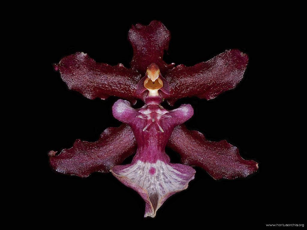 Oncidium Sharry Baby