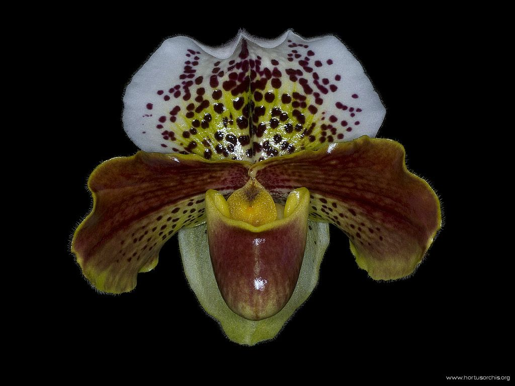 Paphiopedilum Penn Valley