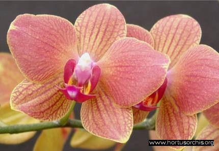 b_0_0_0_10_images_stories_foto-specie-ibride_Phalaenopsis_Brother.jpg