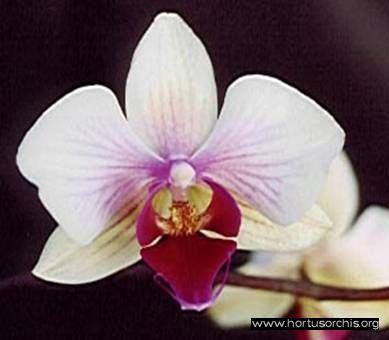 b_0_0_0_10_images_stories_foto-specie-ibride_Phalaenopsis_Kanaalweg.jpg