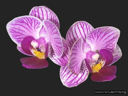 Phalaenopsis Little Aurora
