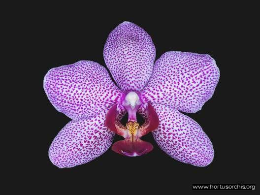 Phalaenopsis Mary Krull