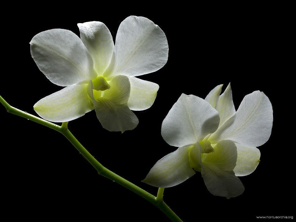 x51620p Dendrobium Xmas White 1024