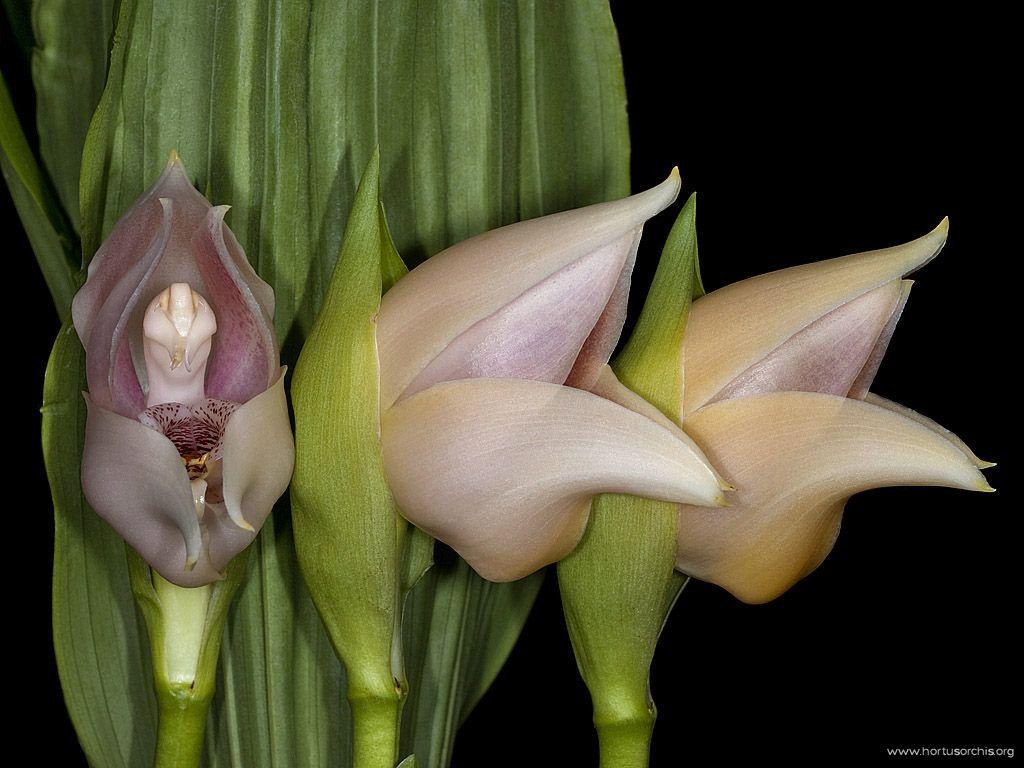 x55780p Anguloa uniflora
