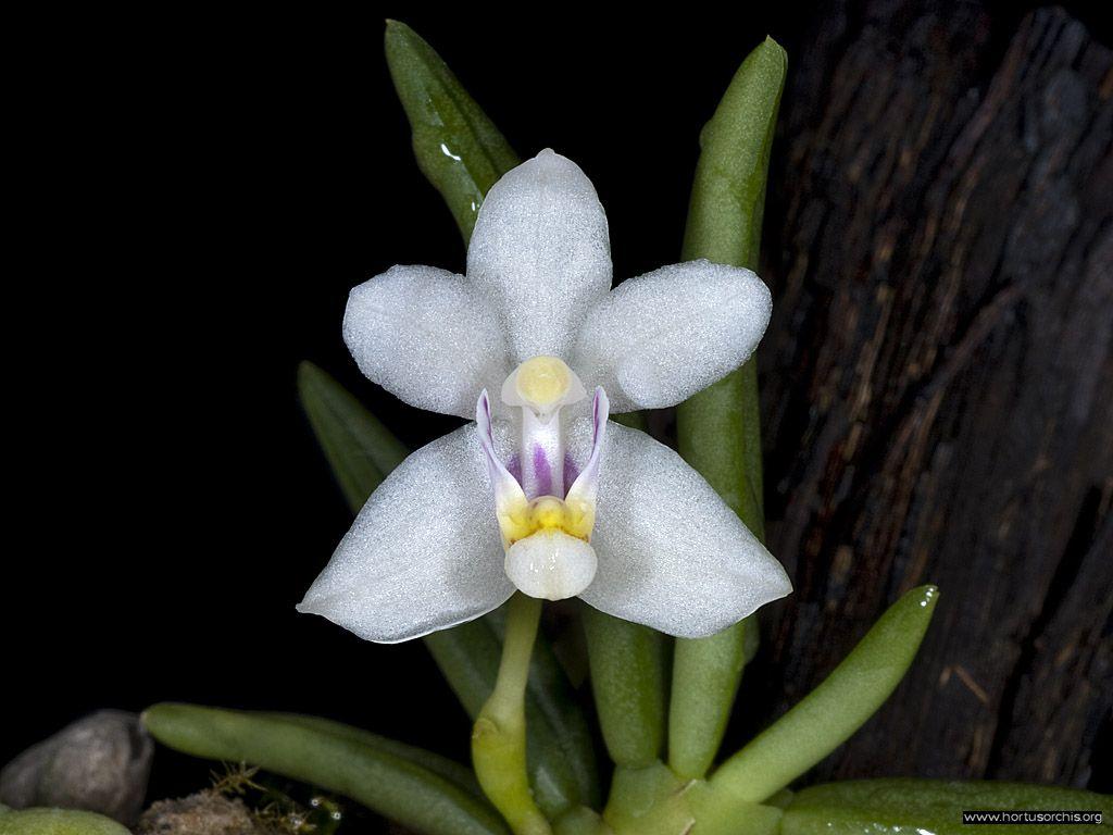 x56220p Pteroceras semiteretifolium