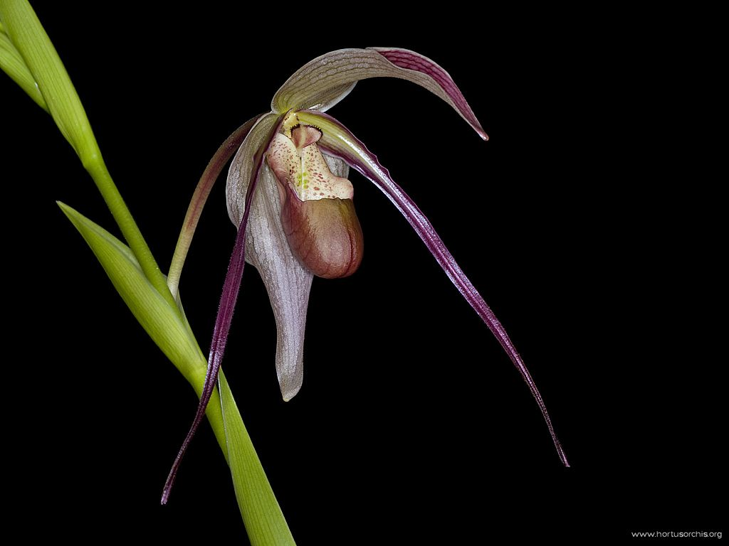 x56250p Phragmipedium Grande