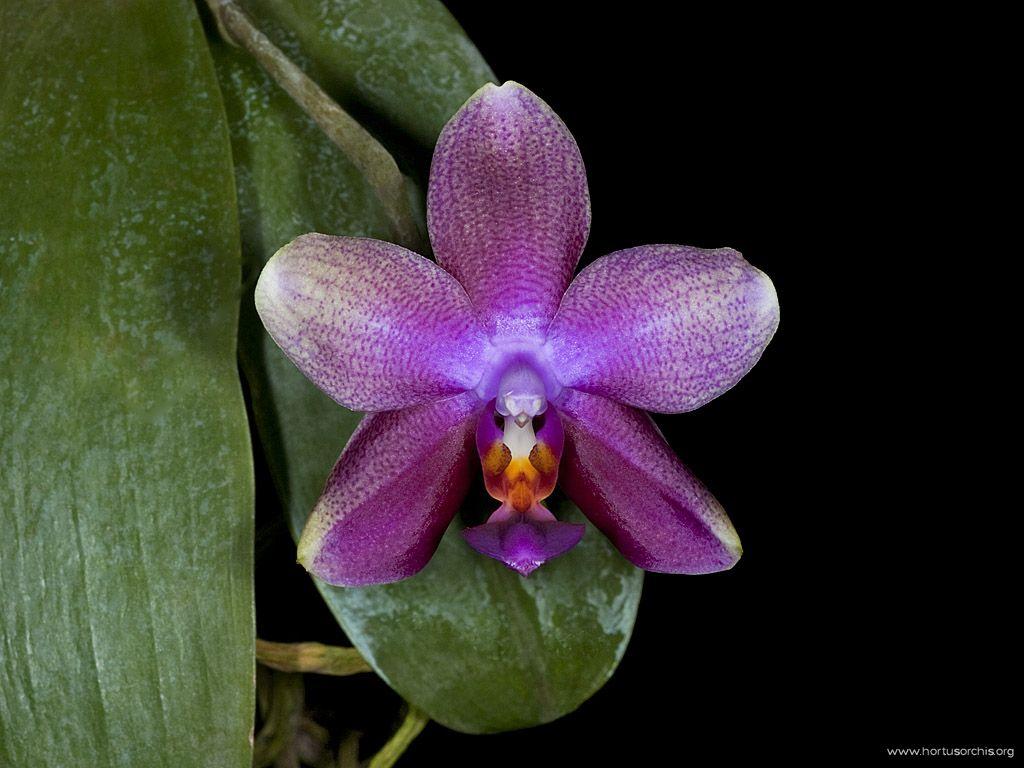 x56262p Phalaenopsis Gouden Leeuw