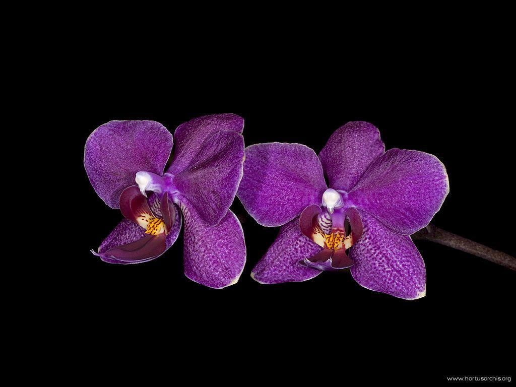 x56264p Phalaenopsis Rama