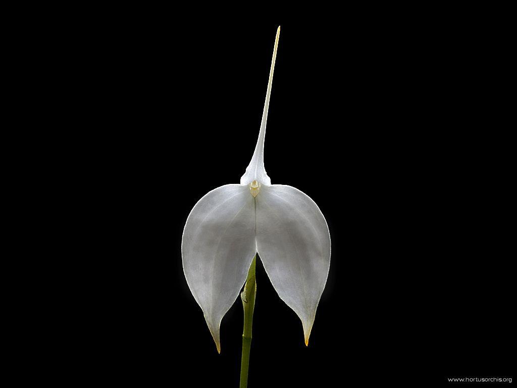 x56395p Masdevallia coccinea alba