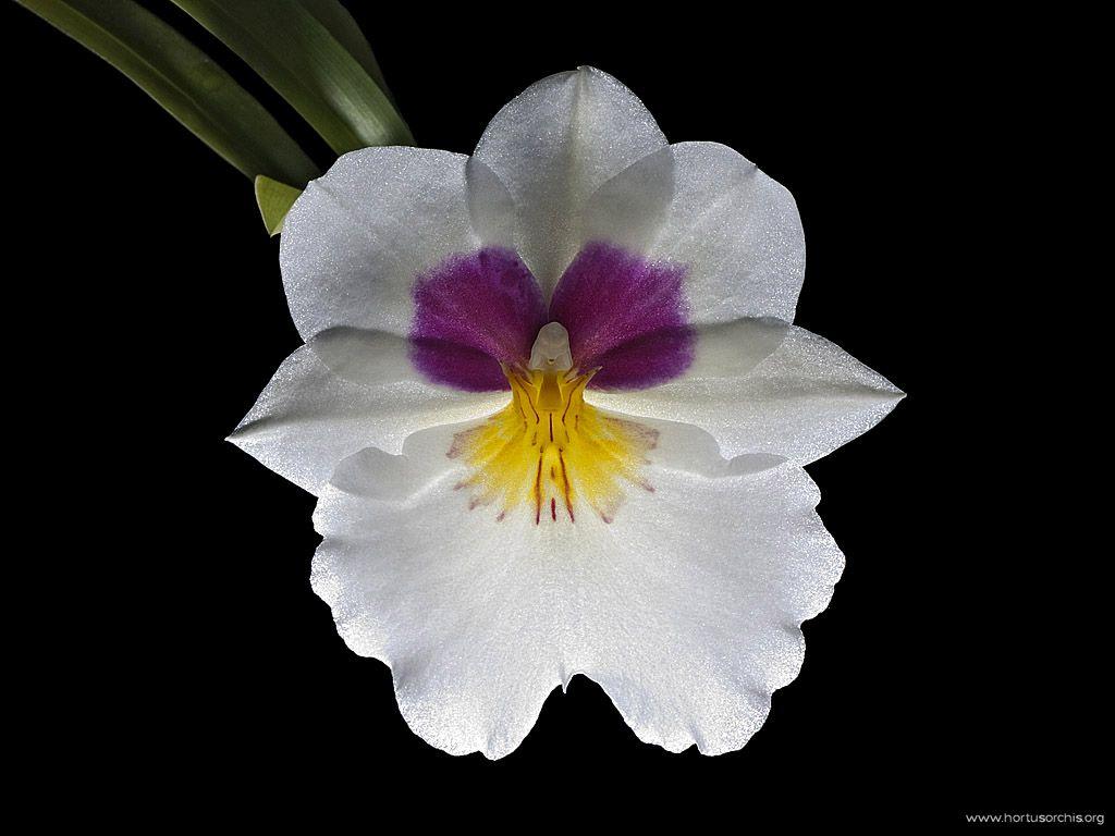 x56414p Miltoniopsis Lyceana