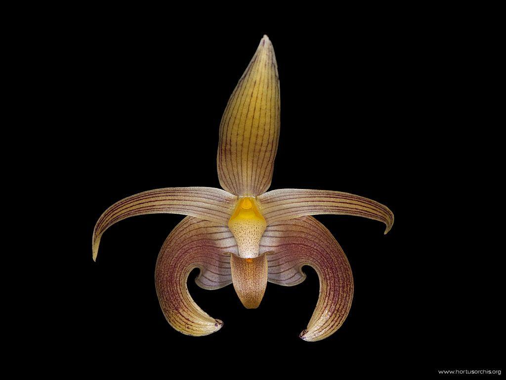 x56585p Bulbophyllum lobbii 2