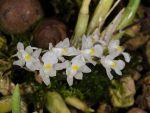 Read more: Capanemia uliginosa