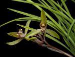 Read more: Cymbidium cyperifolium var. szechuanicum