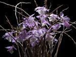 Leggi tutto: Dendrobium aphyllum