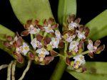 Read more: Gastrochilus acutifolius