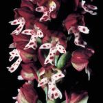 Leggi tutto: Neotinetia ustulata