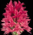 Leggi tutto: Nigritella rubra, subsp. rubra