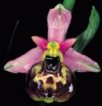 Read more: Ophrys holosericea, subsp. tetraloniae