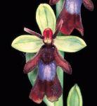 Leggi tutto: Ophrys insectifera