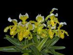 Read more: Paphiopedilum insigne forma sanderae