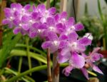 Read more: Aerides krabiensis