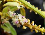 Read more: Seidenfadenia mitrata