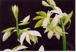 Read more: Phaius tancarvilleae var pulcra
